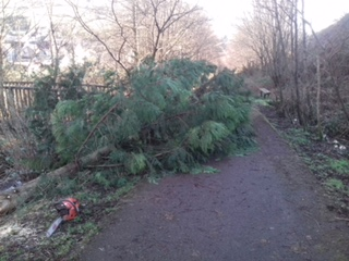 Leylandii Tree Removal River Banks